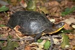 blandings_turtle