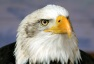Bald_eagle_head_frontal