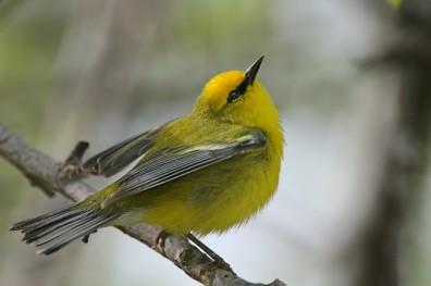 Blue-winged_Warbler