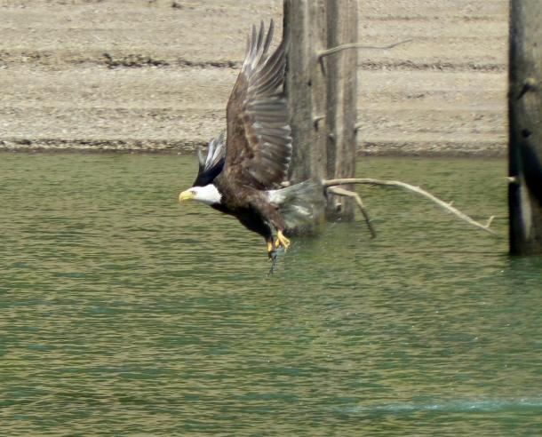 Bald Eagle hunt1