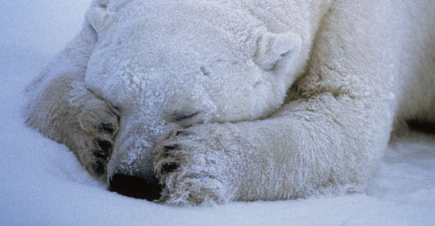 polar-bear-sleeping_666_990x742-2
