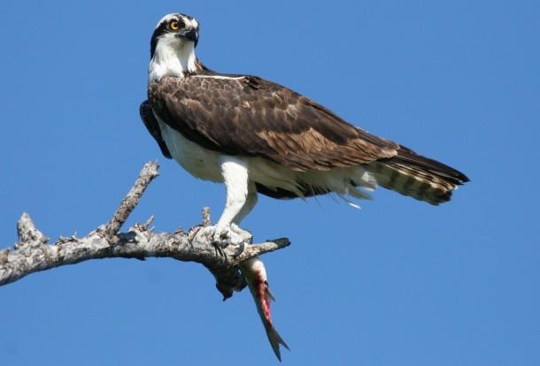 Osprey (Stuart, FL., 1-08)
