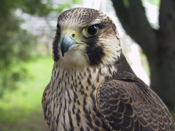 faucon-pelerin2-zoo-de-granby-g-2