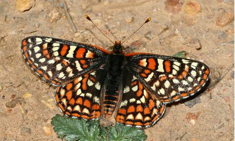 The quino checkerspot butterfly has defied predictions of extinction by moving to higher altitudes and choosing a new plant on which to lay its eggs. Photograph: Butterfly Conservation