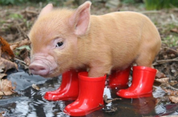 piggy-wellies