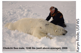 Chukchi male 1240 lbs labeled Durner 2008