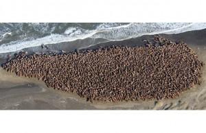 Walrus haulout -- Icy Cape, Alaska