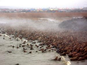 Walrus haulout in Russia