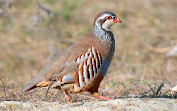 Red-Legged-Partridges bird